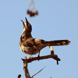 6b little wattlebird IMG_9959